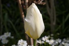 Weiße Tulpe mit Regentropfen - White tulip with raindrops (riesebusch) Tags: berlin garten marzahn