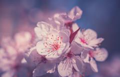 Spring Blossom (Dhina A) Tags: sony a7rii ilce7rm2 a7r2 heinz kilfitt munchen makro kilar 90mm f28 2x kilfittmakrokilar90mmf28 apo 16blades bokeh spring flower garden blossom