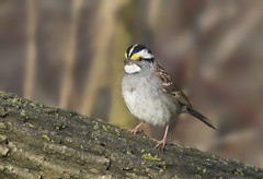White-throated Sparrow (sspike@rogers.com) Tags: white sparrow male steverossi nature ontario wildlife witethroatedsparrow