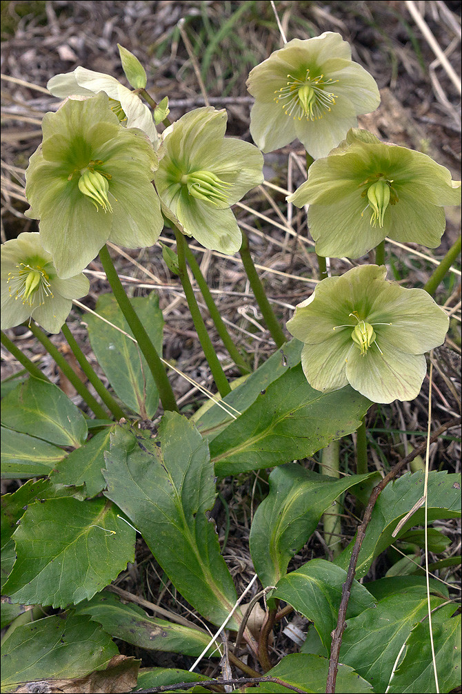 The World\'s newest photos of helleborus and nieswurz - Flickr Hive Mind