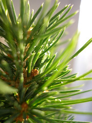 A little spruce (bedeser) Tags: spruce branch tree sun light boke window indoor drop water bedeser russia green needles