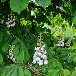 Horse Chestnut Tree in Flower thumbnail