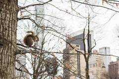 Esquilo Central Park NYC (Felipqsiq) Tags: esquilo central park nova new york nyc ny tree arvore predio natureza
