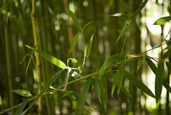 Parc Oriental de Maulévrier, France (Tiphaine Rolland) Tags: parc park parcorientaldemaulévrier maulévrier japonais japanese japanesegarden jardinjaponais jardin garden france にわ 庭 green vert 緑 みどり bambou bamboo