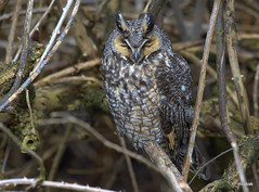 Long-eared Owl (miketabak) Tags: