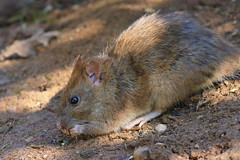 Brown rat (Jo Rawson!) Tags: wildlife clumber clumberpark nottinghamshire nationaltrust nature