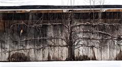 The Giving Tree (Professor Bop) Tags: professorbop drjazz olympusem1 tree barn rural newyork grain mosca