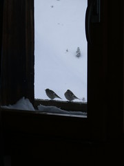 ...White-winged SnOwfinch... (project:2501) Tags: wengen jungfrauregion suisse switzerland snow ski travel view viewthroughawindow window windowframe bird birds treesparrow theviewfromhere spectators spectating town village inthemountains mountains mountain