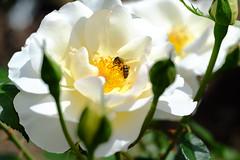 La hora de la recolección (ameliapardo) Tags: rosas blanco abejas recolección polen flores naturaleza airelibre andauciajardínbotánico córdoba españa