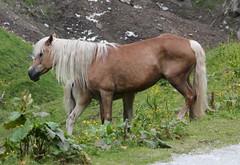 Stute mit Fohlen, 150629 , NGID1492463227 (naturgucker.de) Tags: ngid1492463227 naturguckerde hauspferdequuscaballussubspcaballus krumltal cbirgitwichelmannwerth