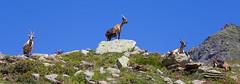 You shall not pass! (moritzklingenstein) Tags: 2016 berge juli montiggl südtirol urlaub goat goats animal mountain alpes meran italy