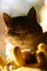 My sleepy cat (MaiGoede) Tags: animals animal animalportrait tiere tier tierportrait katze katzen hauskatze haustier nikon sleepy müde golden goldenlight