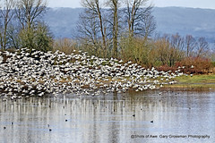 Snow Geese (Gary Grossman) Tags: snowgeese flock sauvieisland garygrossmanphotography pacificnorthwest winter latewinter landscape waterfowl water lake wetlands waterscape wild wildlife wildlifeart art march oregon clouds