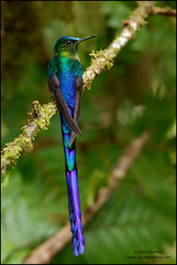 Violet-tailed Sylph (Aglaiocercus coelestis) (Glenn Bartley - www.glennbartley.com) Tags: andes animal animalia animals aves avian bird birdwatching birds colombia glennbartley nature neotropical rainforest southamerica violettailedsylphaglaiocercuscoelestis wildlife