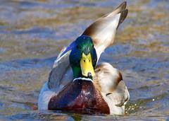 True Feathers! (CdnAvSpotter) Tags: mallard duck wildlife wildbird nature ottawa river mud lake waterfowl feathers animal bird explore