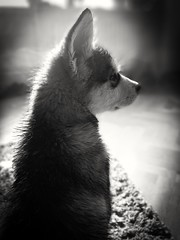 Nova (Jonas Björklund) Tags: alaskan malamute dog puppy bw