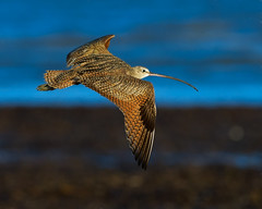 Long Billed Curlew (RLL Photo) Tags: shorebird longbilledcurlews natural colorimage nature northamericanbirds flying waders one soaring numeniusamericanus single colorimages flight wadingbirds soar bird colorphotos wadingbird other birds shorebirds longbilledcurlew colorphoto sandpipers scolopacidae galveston texas