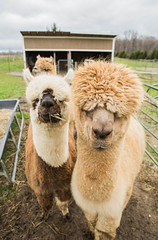 medina-7731 (FarFlungTravels) Tags: alpaca animal farm medinacounty onefineday shear wool