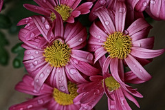 Red Flowers with Water Drops (hbickel) Tags: redflower red waterdrops canont6i canon photoaday pad macrolens macro