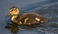 Duckling (Amanda Nicoll) Tags: duckling ducks wildlife birds water pembrokeshire withybushwoods outdoors countryside