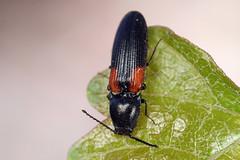 click beetle (myriorama) Tags: clickbeetle polyphaga elateriformia elateroidea elateridae dendrometrinae dendrometrini dendrometrina limonius limoniusstigma