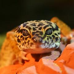 Leopardgecko Portrait (jenslöffeler) Tags: leo leopard leopardgecko sony alpha 6000 50mm festbrennweite