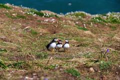 Conspiracy? - Skomer Island, Pembrokeshire, Wales (dejott1708) Tags: wales skomer island pembrokeshire puffins three conspiracy nature birds