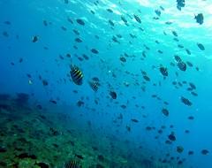 """Rush Hour (:: through my eyes ::) Tags: fernandodenoronha """"fernando de noronha"""" noronha brasil brazil brasilien brésil paraíso paradise ilha arquipélago island mar sea azul blue """"imensidão azul"""" """"big blue"""" oceano ocean atlântico atlantic gopro underwater sub scuba """"scuba diving"""" mergulho mergulhador mergulhadora diver atlantis """"atlantis divers"""" atlantisdivers cardume sargento sargentinho """"ponto mergulho"""" """"diving spot"""" cabritos divingspots pontodemergulho"""