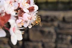 at work... (martinap.1) Tags: nikon40mmmacro nikond3300 macro bee biene insekt blüte blossom 7dwf