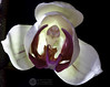 Opening (J.Gargallo) Tags: opening abriendo orquidea phalaenopsis orchid flor flores flower flowers planta indoor macro macrofotografía canon canon450d eos eos450d 450d tokina tokina100mmf28atxprod