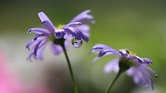 Miroir (Callie-02) Tags: couleurs profondeurdechamp violet canon jardin extérieur fleur goutte drop