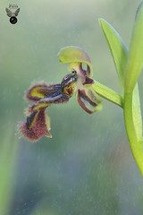 OPHRYS SPECULUM 02 (JuanMa-Zafra) Tags: ophrys speculum orquídeas flores campo d7100 105mm macro flash reflector difusor zafra extremadura sb800 nikon