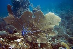 Sea Fan (Jeff Mitton) Tags: marine scuba seafan commonseafan guanaja honduras caribbeansea reef coral softcoral animal wondersofnature earthnaturelife