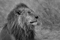 In the wind, Serengeti National Park (Poulomee Basu) Tags: tanzania savannah lionking king nikond90 wildlifephotography wilderness wildlife wild africansafari safari adventure africa serengeti tranquil lightroom nikon bigcatdiaries mufasa monochrome blackandwhite letlionslive lion