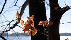 Brown leaves (Håkan Dahlström) Tags: 2017 brown leaf photography skåne sweden tree munkaljungby skånelän xt1 f90 1420sek xf1855mmf284rlmois cropped 726032017143239 ängelholmn se