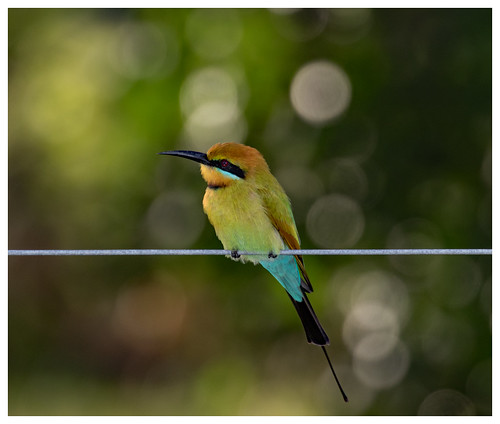 Rainbow Bee-eater (Merops ornatus).02