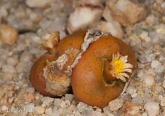 Conophytum maughanii ssp. armeniacum