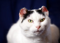 'Sunni' (Jonathan Casey) Tags: cat rescue rescuecat chums catchums norfolk uk portrait nikon d810 105mm f28 vr jonathancaseyphotography