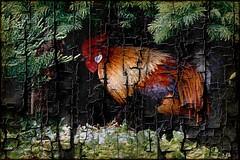 Winston (andycurrey2) Tags: smileonsaturday hensandchicks cockerel feathers bird art texture pet animal colours bantam