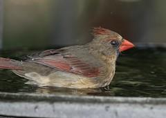 Northern cardinal (schreckpeter45) Tags: birds birding cardinal northerncardinal birdphotography birdingphotography canon