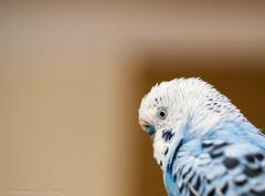 Morris (JohannesLundberg) Tags: melopsittacusundulatus psittaciformes aves morris psittaculidae perrucheondulée wellensittich bird budgerigar budgie fågel periquitocomún undulat