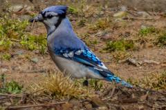 WL-0412 (peterslugphotography__) Tags: blue jay cyanocitta cristata