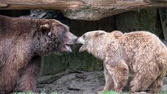 Die Braunbären Jule und Max beim Toben (AchimOWL) Tags: natur nature animal tier tiere gh5 outdoor owl panasonic ngc lumix tierpark olderdissen bär bären braunbären braunbär brownbear bear