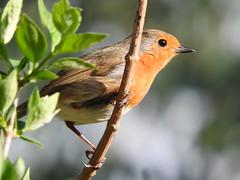 Spring evening! (macfudge1UK) Tags: ©allrightsreserved 2017 avian bbcspringwatch bird branch britain britishbird britishbirds bush coolpix coolpixp610 england erithacusrubecula fauna gb greatbritain nature nikon nikoncoolpixp610 oxfordshire oxon p610 perch perching robin rspbgreenstatus spring uk wildlife