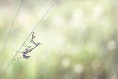 Expedition matinale (donlope1) Tags: insect nature macro proxy proxi empuse mantis mante diablotin sunrise bokeh macrodreams