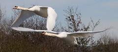Mute Swan 250317 (3) (Richard Collier - Wildlife and Travel Photography) Tags: birds birdsinflight flight inflight wildlife naturalhistory muteswan british britishbirds naturethroughthelens ngc npc