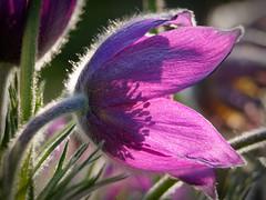 Beads of light (Michal Hajek) Tags: d5500 nikon 55300mm czechrepublic nature flower flowerscolors platinumheartaward