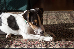 Dooley in Morning Light (marylea) Tags: prt jrt smoothcoatparsonrussellterrier cute puppyatrest morninglightisbest morninglight explore explored apr1 2017 dog puppy parsonrussell parsonrussellterrier jackrussellterrier jackrussell terrier sunny dooley 12weeksold