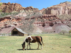 Grazing at the Gifford Farm at Capitol Reef National Park (JJP in CRW) Tags: capitolreef nationalparks utah fruita horses