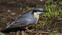 Nuthatch (Amanda Nicoll) Tags: birds wildlife pembrokeshire withybushwoods scenery nuthatch outdoors countryside
